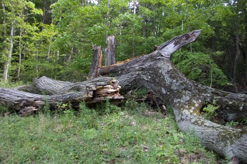 mighty oak tree finally falls